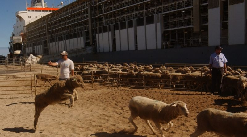Sheep being loaded onto a ship for live export