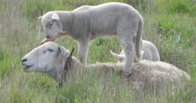 Moffitts Farm Wilitpoll ewe resting in pasture with her lamb standing on her back