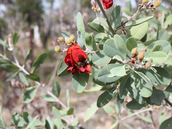 Heart leaf poison bush photo greg-mifsud-2 Landcare Australia Feb17