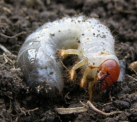 Yellowheaded pasture cockchafers – ally or enemy?