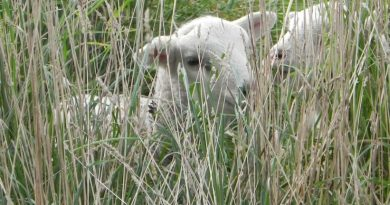Spring 2017 update: Prolific pasture key to new born lamb welfare