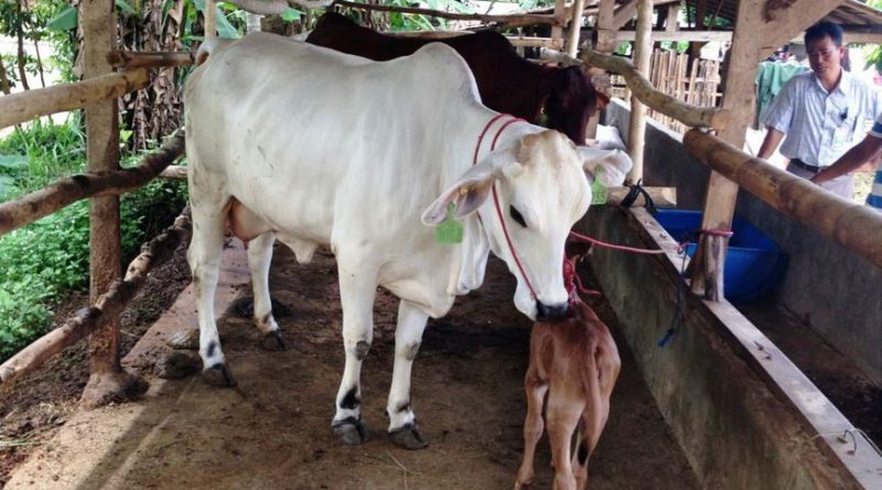 Beef cattle farming supporting small holder livelihoods – a case study