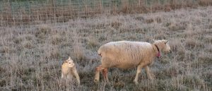 A ewe and lamb in a paddock, frost on the ewe and the grass