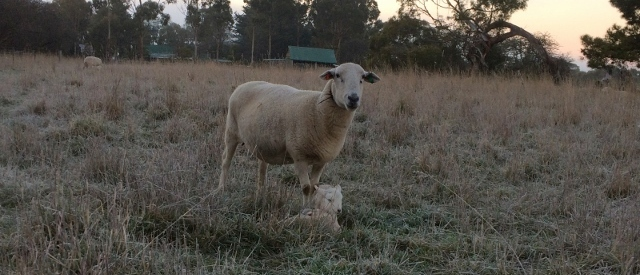 A ewe stands above twin lambs nestled in between tussocks of grass