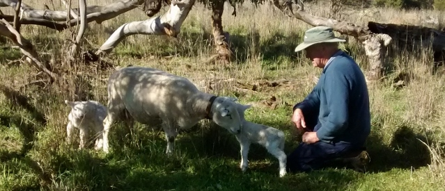Maternal behaviour score 5 out of 5 - the ewe stays near the lambs even with a person nearby