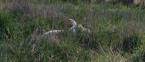 Twin lambs lying down in grass, barely visible