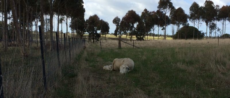 Sleeping ewe and lamb