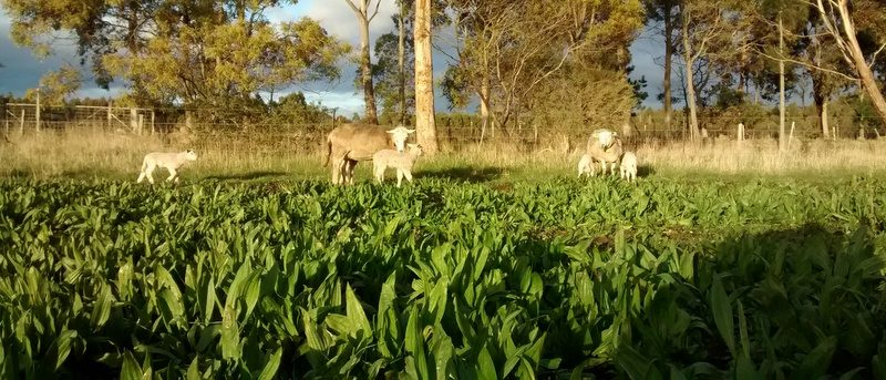 Plantain pasture in foregrund, ewes and lambs in background