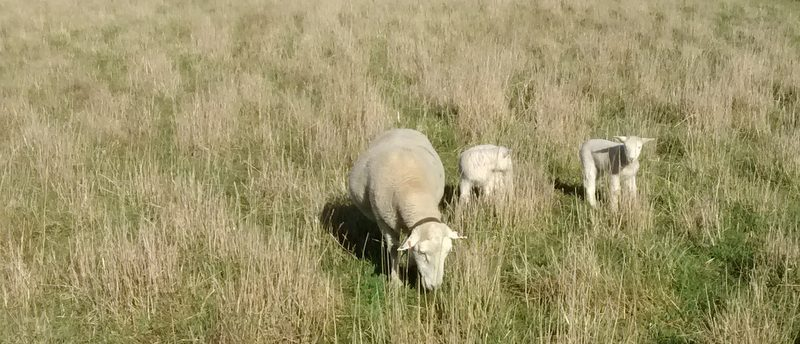 Ewe and lambs in bulky perennial pasture