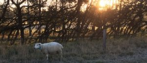 Frost can be seen on the back of a ewe as the sun rises