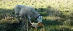 A large new born lamb is licked by its mother