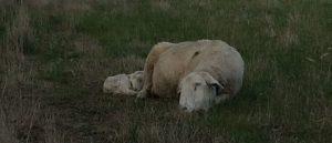 A ewe and lamb sleep side by side
