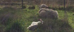 Lambs sleep amongst large grass tussocks