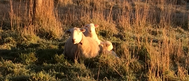 A lamb sits on its mother's back and another sits beside the ewe