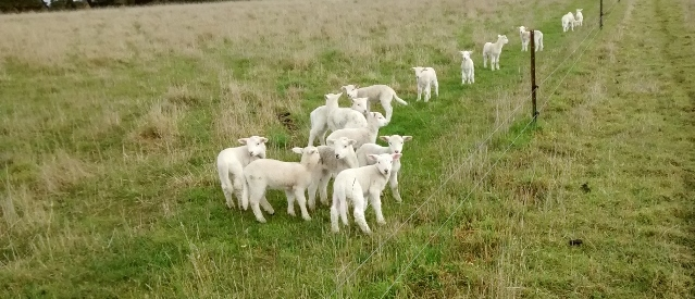 A large group of lambs gathered in a paddock