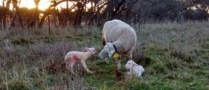 The sun rises over new born lambs