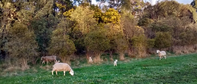 Ewes and lambs in a paddock with longer grass and trees in the background