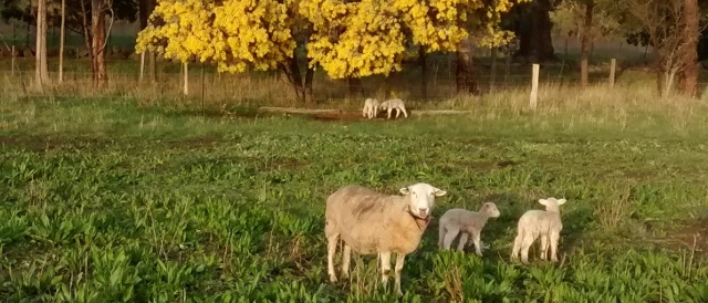 A ewe and lambs stand in a paddock of plantain. A wattle in flower behind them