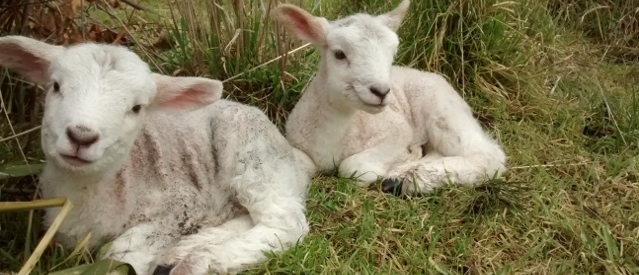 Twin lambs sit amongst grass tussocks