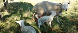 A ewe and new twin lambs