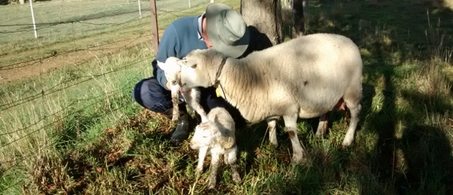 A ewe nuzzles a lamb being held by a person doing a health check. The fact that the ewe remains standing with the lambs gives her a high 'maternal behaviour score.'