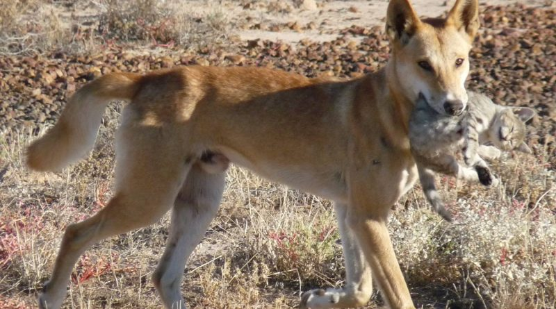 Can dingoes contribute to ecological restoration of the WA rangelands?