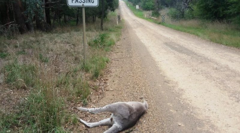 Avoidable wildlife road kills in Victoria continue unabated