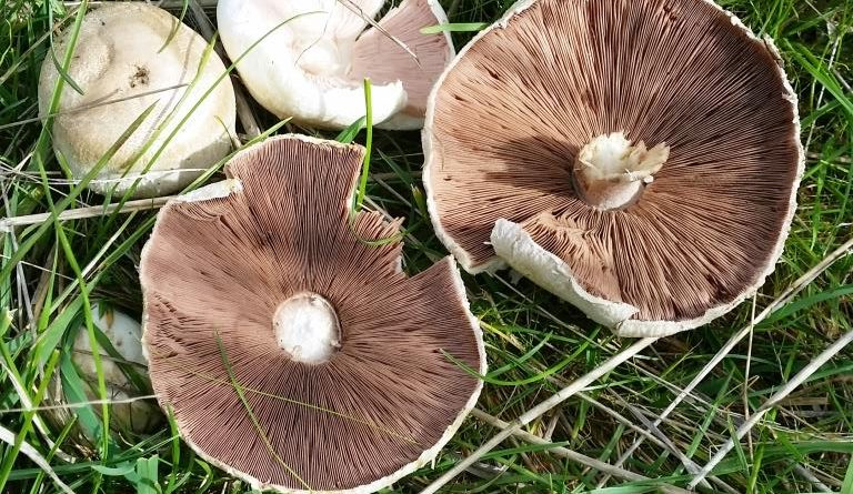 Summer/autumn rain brings pasture fungi bonanza