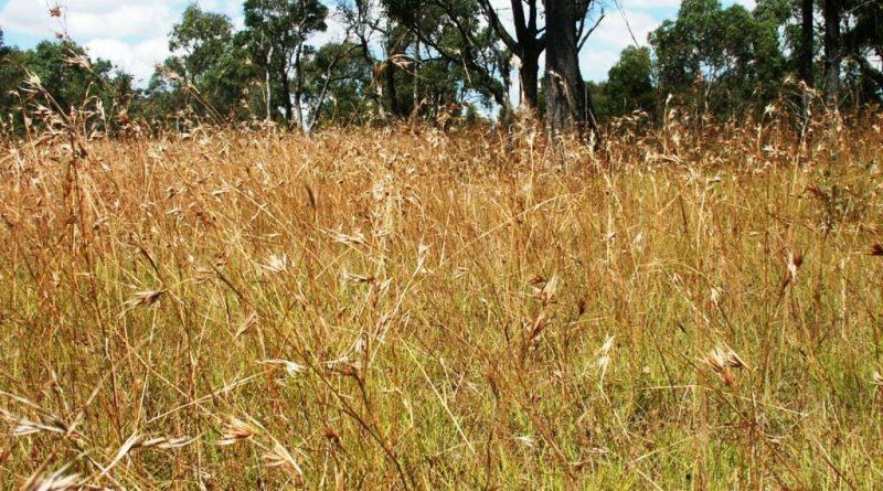 Phosphorus fertiliser an advantage for specific native grass species